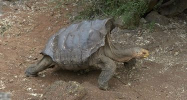 Sexploits of Diego the tortoise save Galapagos species