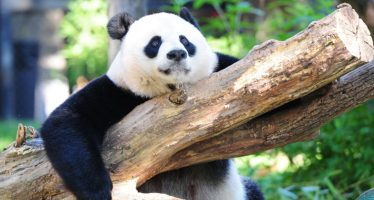 Giant panda is no longer endangered, experts say
