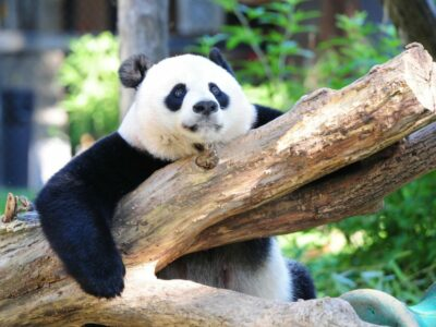 Giant panda is no longer endangered, experts say