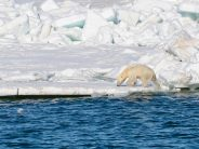 Polar bears losing crucial sea ice: Study