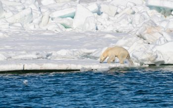 Polar bears losing crucial sea ice: Study
